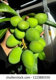 """""""Pelam Telur"""" or Egg Mangos, Kedah, Malaysia."""