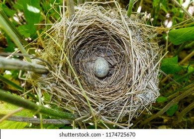 Egg from the nest of the Blyth's Reed Warbler (Acrocephalus dumetorum) after the departure of the nestlings. Presumably the egg is carried away by the cuckoo. Russia, the Ryazan region