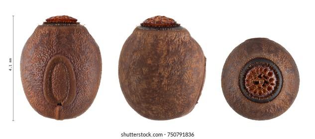 egg of stick insect with measurements - Cranidium gibbosum