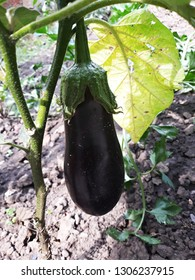 Eggplant, aubergine or brinjal growing in the organic vegetable garden.