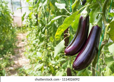 Eggplant field greenhouse