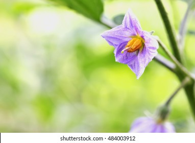 Eggplant flowers that bloom in the pollen makes it clearly.