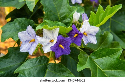 Eggplant flowers in white and urple colour on the tree.