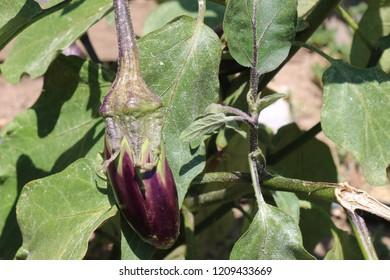 Eggplant in the garden. Fresh organic eggplant aubergine. Purple aubergine growing in the soil.