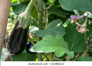 Eggplant in the garden. Fresh organic eggplant aubergine. Purple aubergine growing in the soil.