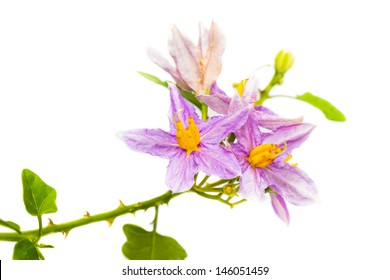 Eggplant plant with purple flower on white background
