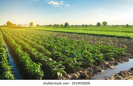 Eggplant plantations grow in the field on a sunny day. Organic vegetables. Agricultural crops. Landscape agriculture. Aubergine.