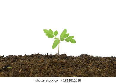 Eggplant plants growing from the soil separately on a white background are perfect for presentations.