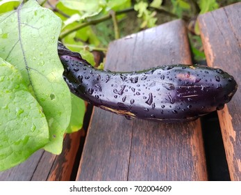 Eggplant tree
