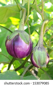 eggplant tree in garden