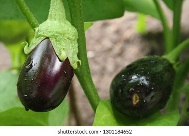 eggplants with drops close-up