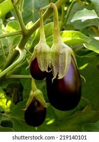eggplants growing in the garden