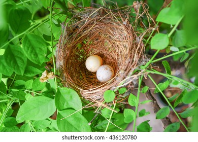 Eggs Bird in Bird's Nest on Tree Branch With Green Leaf at the Garden Animal Life