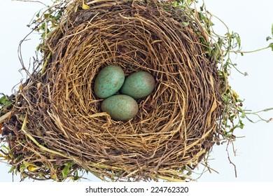 the eggs in a bird's nest of a blackbird.