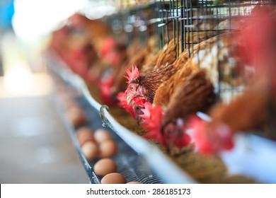 Eggs chicken farm