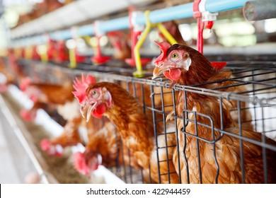 Eggs chicken farm.