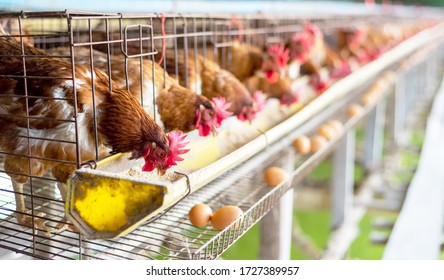 Oeufs Poulets, poules dans les cages ferme industrielle