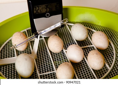 Eggs in an incubator with wire floor for automatic turning of the eggs