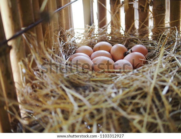 The eggs lay on straw in the coop/ eggs in the coop
