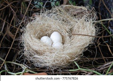 Eggs on nest in the forest