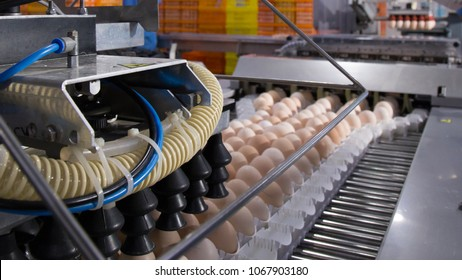 lot of eggs on tray, Egg business & Layer process. Egg Factory Industry with high technology by unless worker with good quality on sorting, grading selection process machine