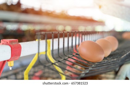 Eggs in tray.Chicken eggs and chickens eating food in farm background.