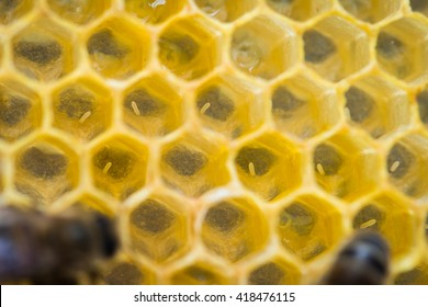 Eggs in the wax comb of the honey bee (Apis mellifera)