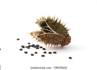 Eggshaped seed capsule of thornapple (Datura stramonium). The thornapple is a bitter narcotic plant that relieves pain. It is very poisonous and should be used with extreme caution.