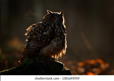 Egle owl in sunrise, orange backlight in the forest. Eurasian Eagle Owl sitting on the tree stump in habitat, photo with backlight, bird action scene in the forest, Germany, sunset in Europe.