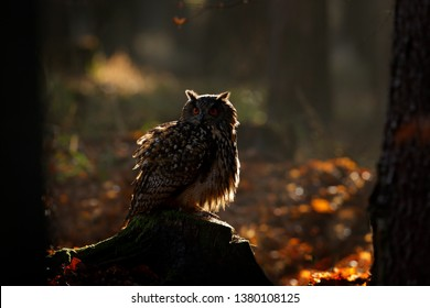 Egle owl in sunset, orange backlight in the forest. Eurasian Eagle Owl sitting on the tree stump in habitat, photo with backlight, bird action scene in the forest, Germany, Europe
