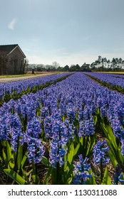 Egmond-binnen, Netherlands - april 2016: Blue Hyacinths flowerfield and farm houses