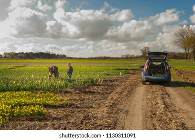 Egmond-binnen, the Netherlands - april 2016: Father and son picking narcisses in a flowerfield, near car with opened booth Retouched for stock