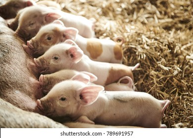 Egological pigs and piglets at a grass field in the summer