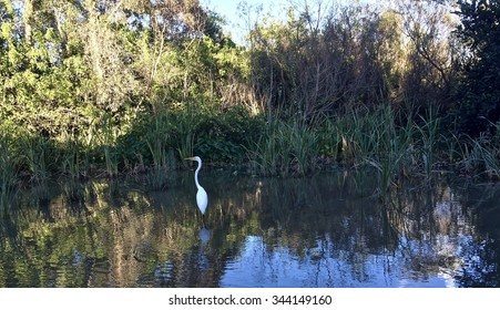 An Egret Bird captured at the Everglades swamp from an air boat ride/ The Still Egret