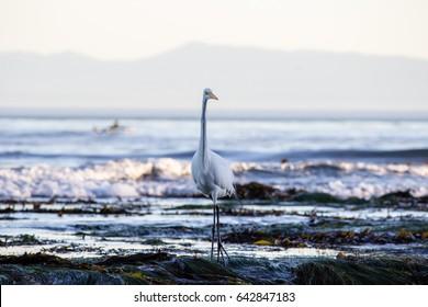 Egret (Bird) in tide pools of Monterey Bay, Santa Cruz, California