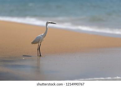 Egret bird waiting for a catch near the water at Kollam beach