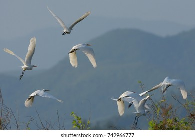 egret birds flying in the nature