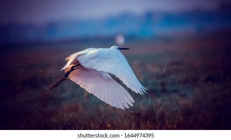 Egret Changing direction mid flight in nature - at Mangalajodi, Odissa, India