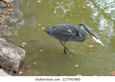 Egret is eating his prey, a freshly caught fish