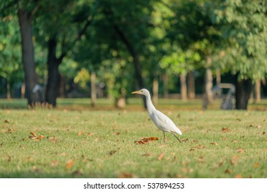 Egret foraging walk along the park.
