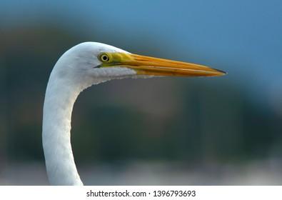 Egret head close-up at Ilhabela island, Brazil