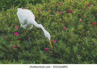 Egret looking for food in a field of flowers.