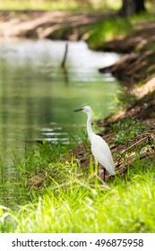 Egret looking for food at swamp