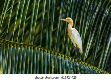 Egret on palm tree, Thailand.