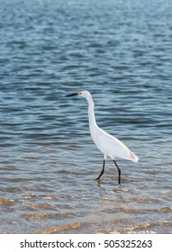 Egret on the shore of the sea water edge search of food