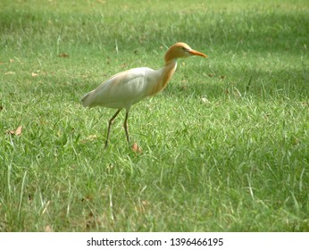 Egret Photo in garden. Eating something in garden with free walking. White and orange color egret beautiful picture.