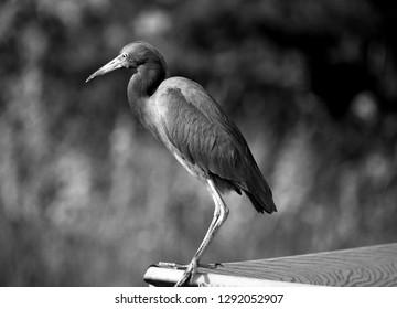 Egret resting on boardwalk Florida, USA