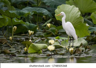 A egret is resting on a lotus leaf in the pond.