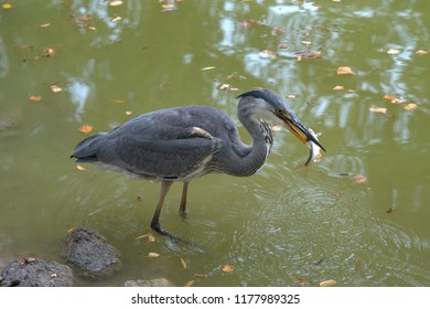 Egret with a shaky fresh fish in its beak