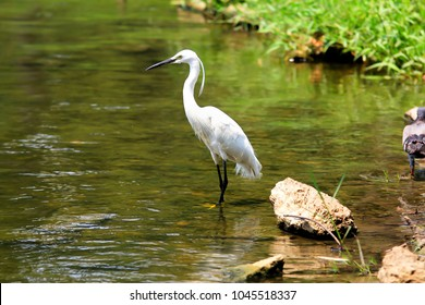 Egret standing in a pool fishing with a reflection in the water